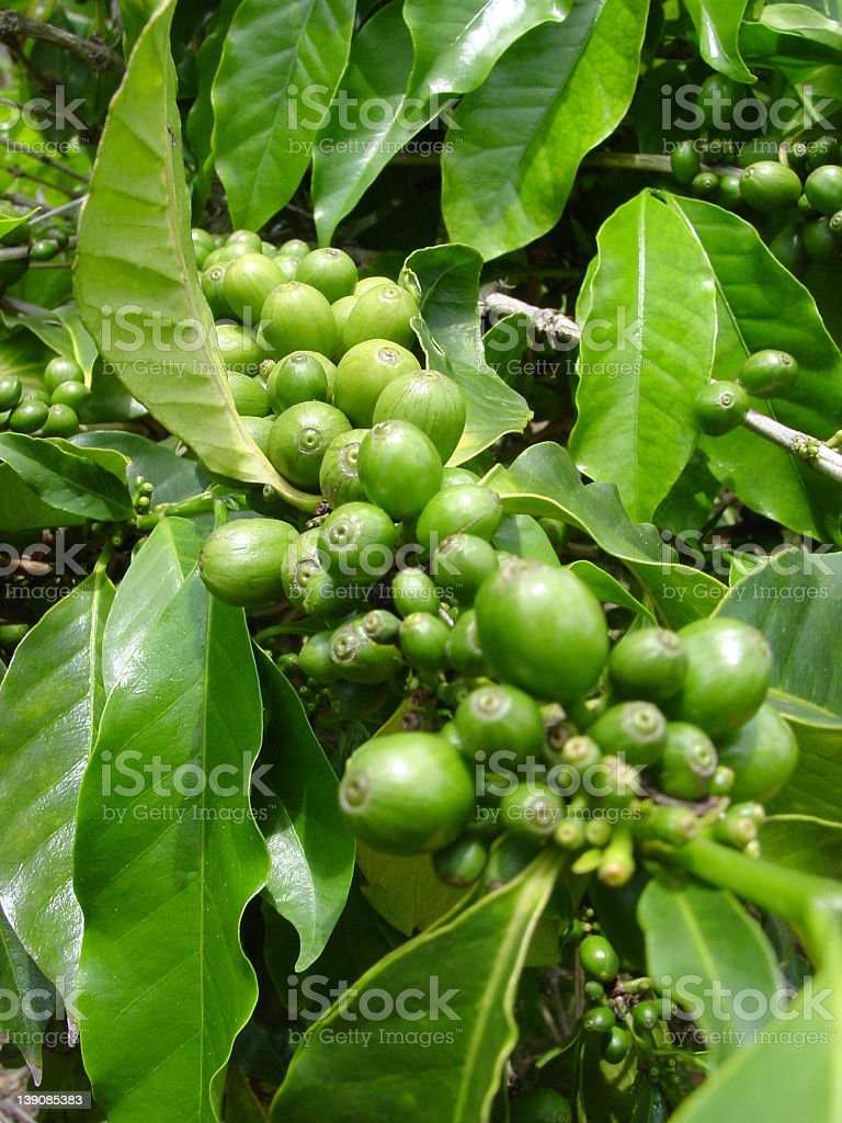 Close-up of unripened coffee plant stock photo