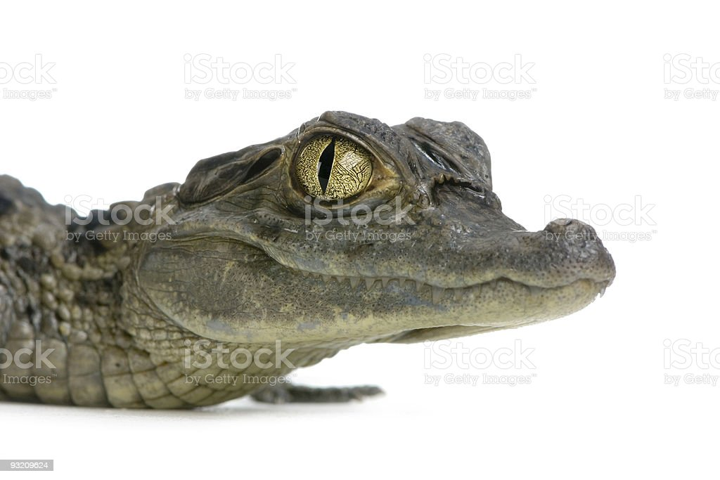 Close-up of upper body of a young spectacled caiman royalty-free stock photo
