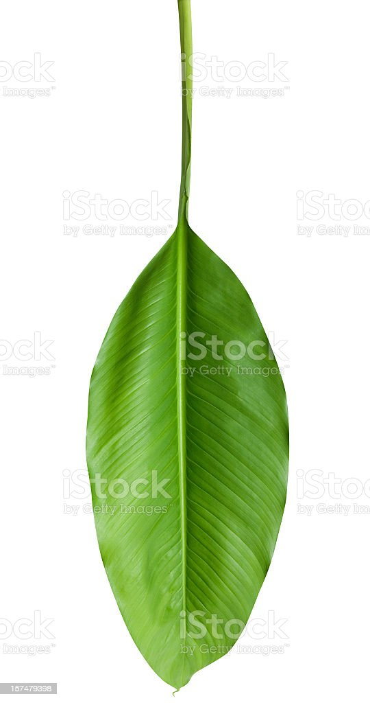 Close-up of upside down tropical leave with fine veins stock photo