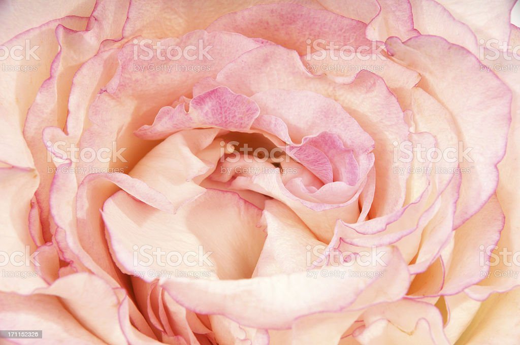 Closeup of very-double pink rose. stock photo