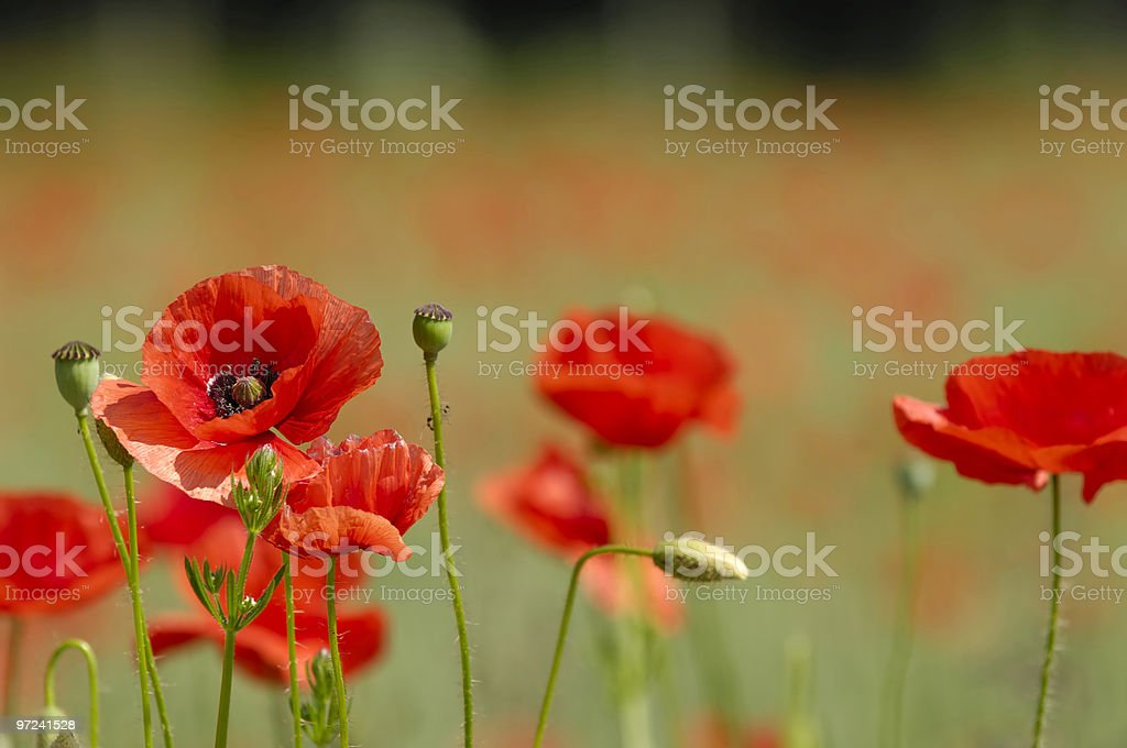 Close-up of vibrant red poppies with blurred background royalty-free stock photo