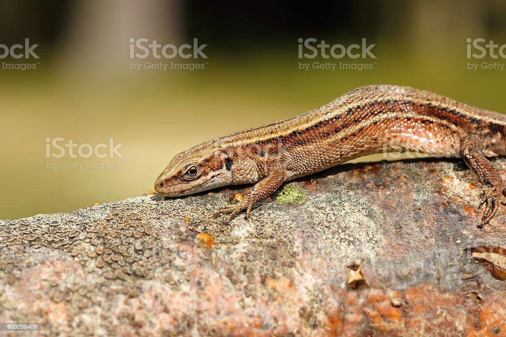closeup of viviparous lizard stock photo