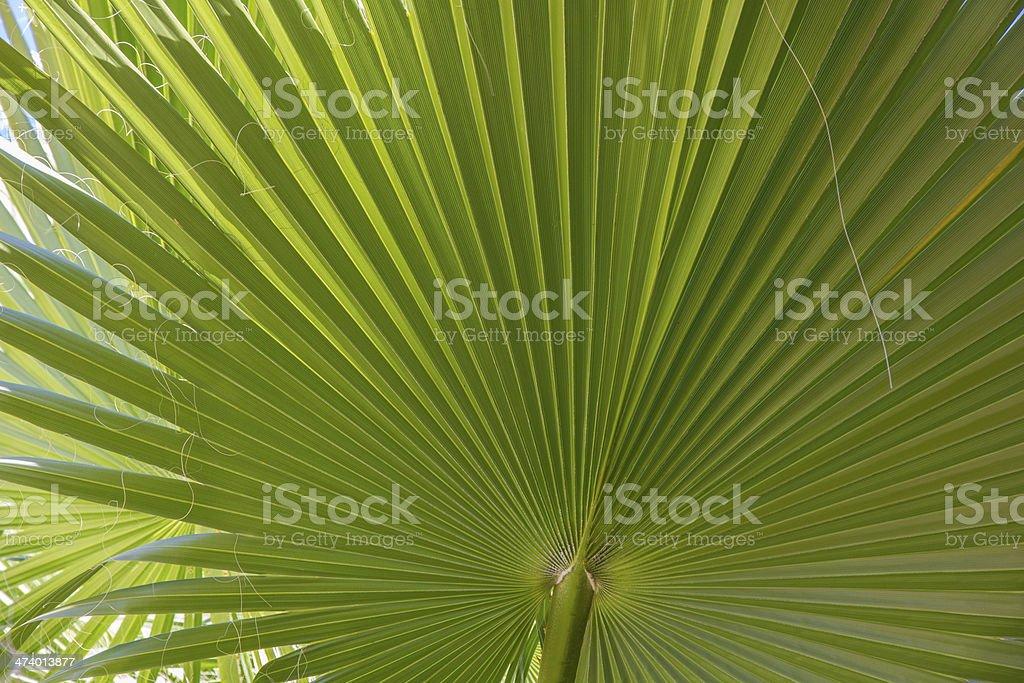 Close-up of Washingtonia Filifera Palm Frond Fan stock photo