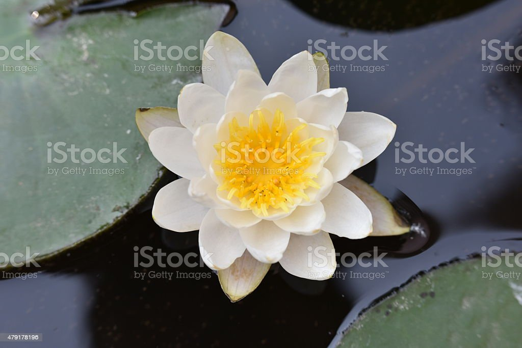 close-up of Water Lily stock photo
