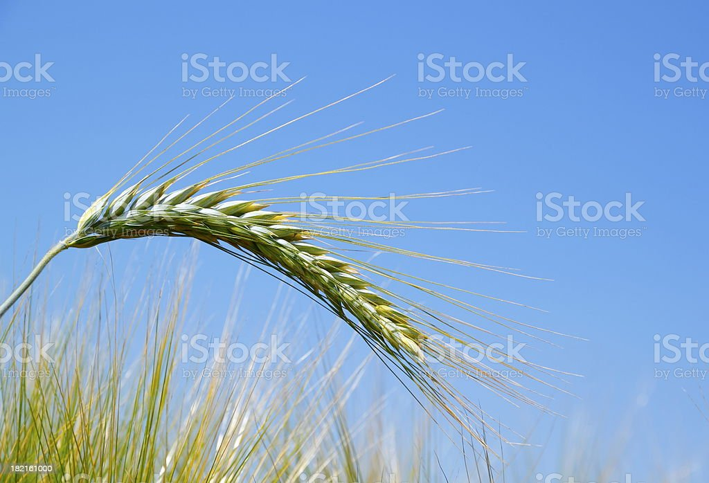 Close-up of Wheat Field royalty-free stock photo