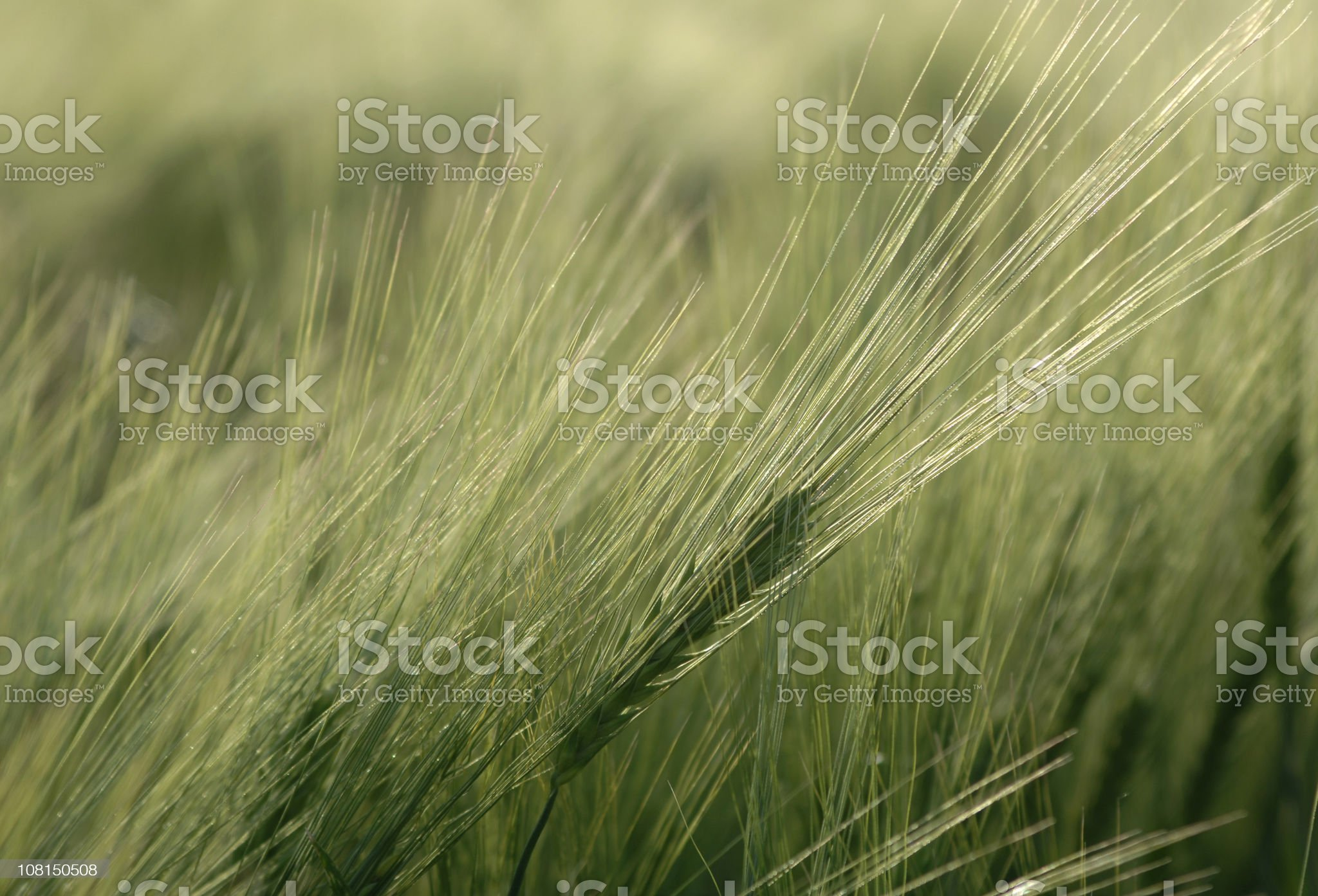 Close-up of Wheat in Field royalty-free stock photo