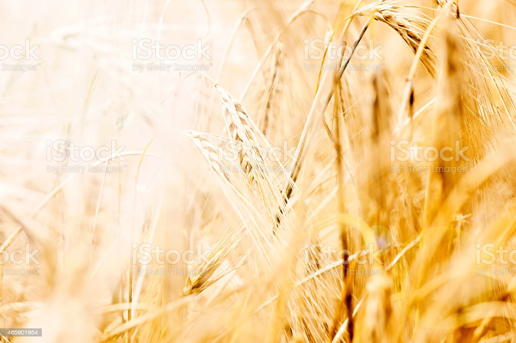A close-up of wheat in the field stock photo
