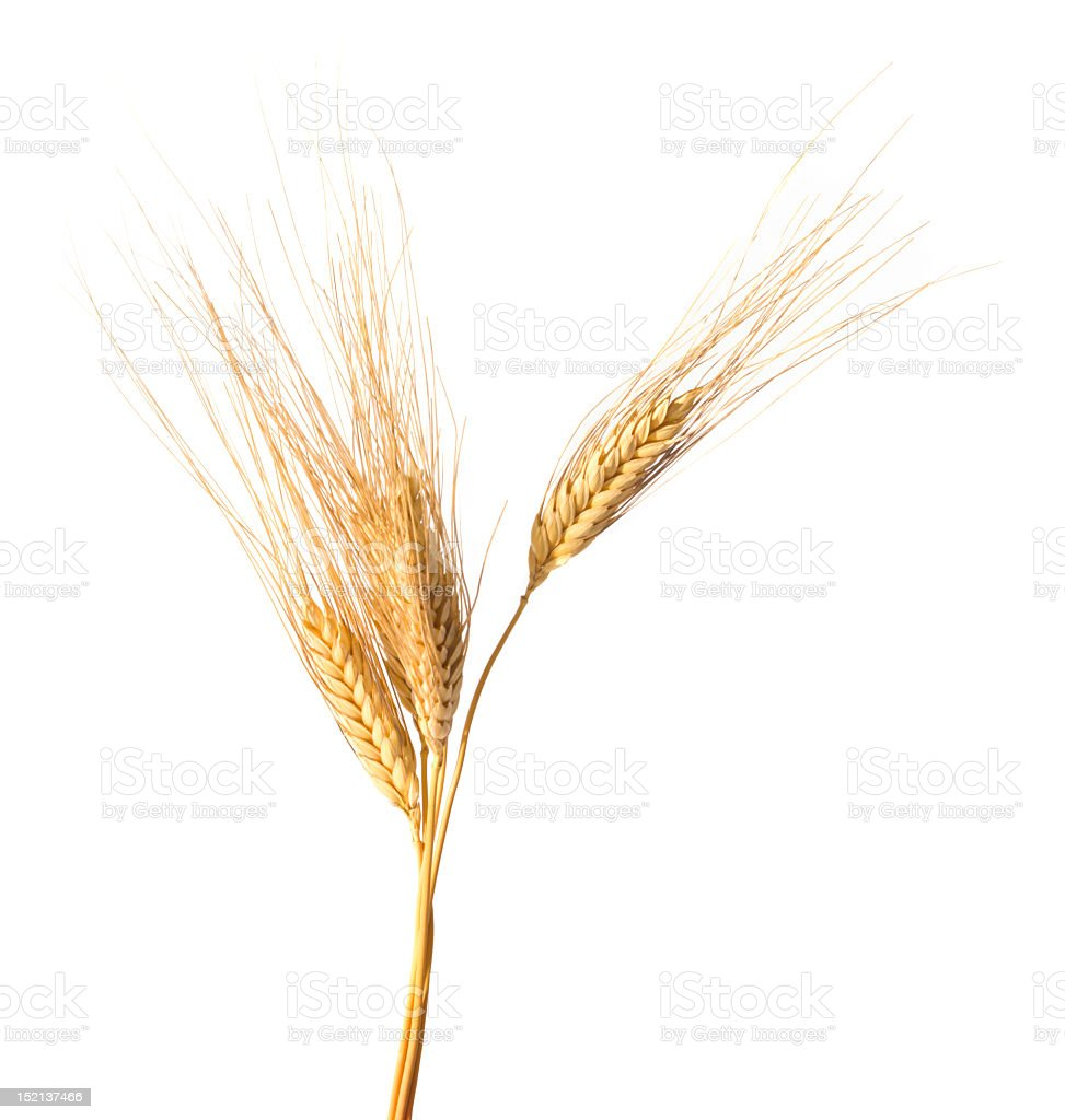 Close-up of wheat isolated on white background royalty-free stock photo
