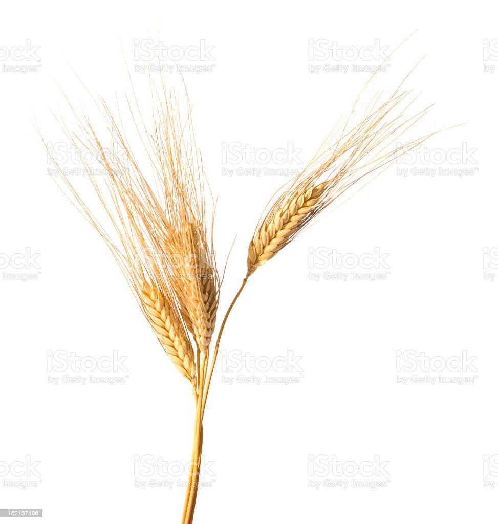 Close-up of wheat isolated on white background stock photo