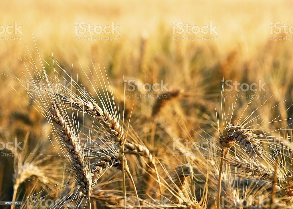 Close-up of wheat royalty-free stock photo