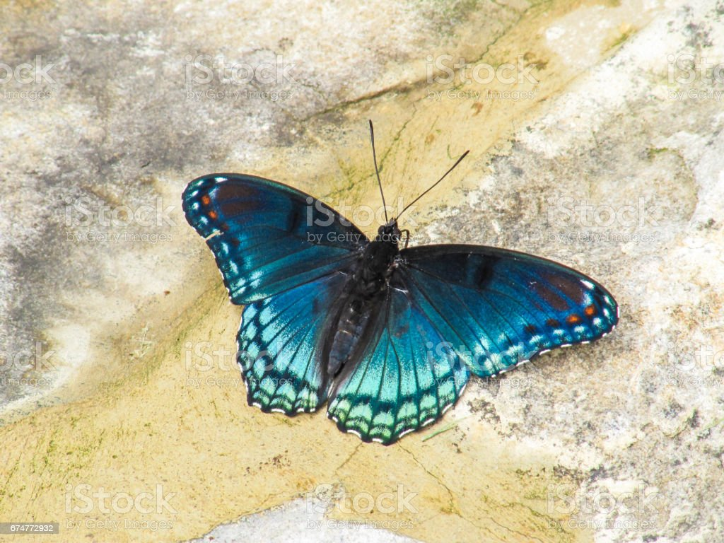 Closeup of white admiral or red-spotted purple blue butterfly, or limenitis arthemis stock photo