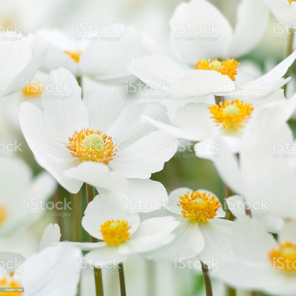 Close-up of white and yellow Snowdrop Anemone Sylvestris royalty-free stock photo