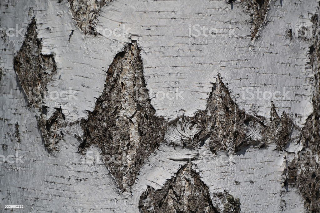 Closeup of White Birch Texture Background. stock photo
