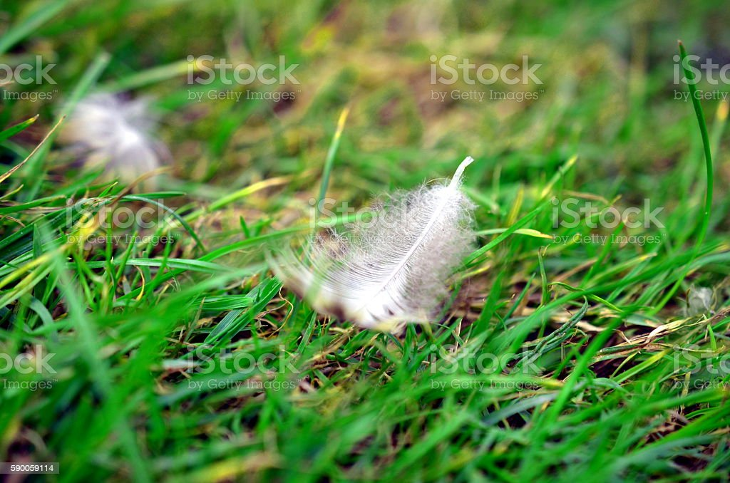 closeup of White bird feather in the grass stock photo