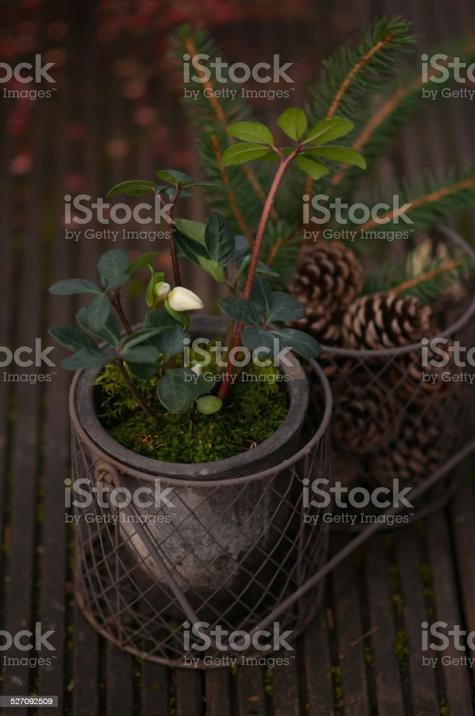 Closeup of white christmas roses  and some pine cones stock photo
