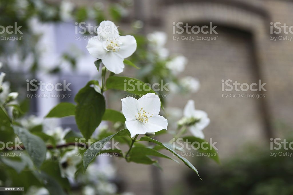 Close-up of white flowers royalty-free stock photo