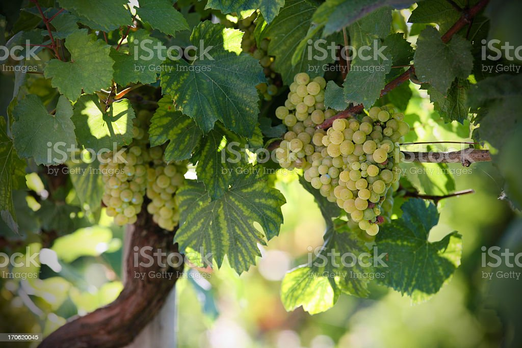 A close-up of white grapes in a vineyard royalty-free stock photo