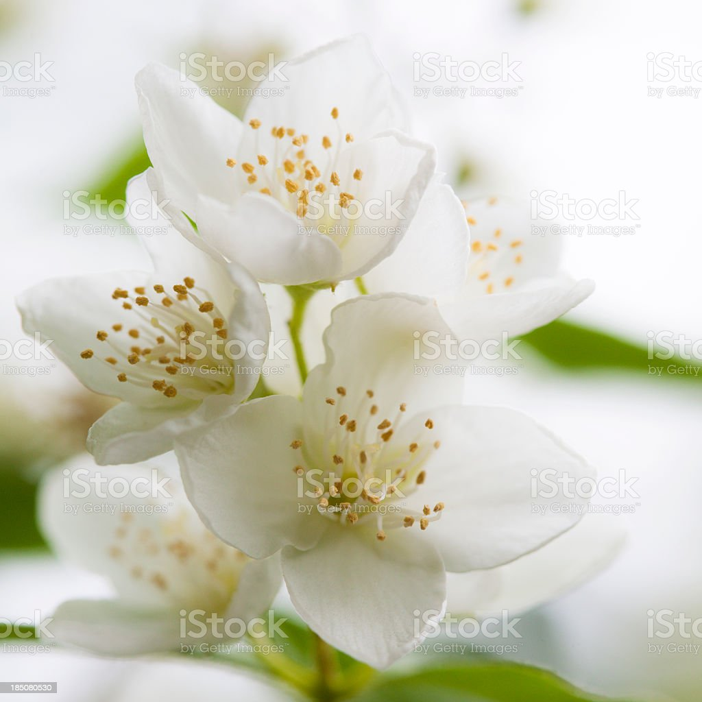 Close-up of white jasmine flower blossoms stock photo