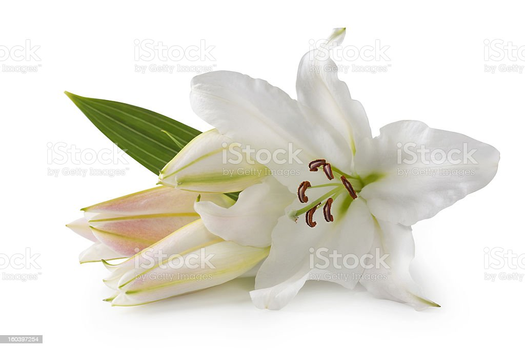 Close-up of white lily flowers with the leaf stock photo
