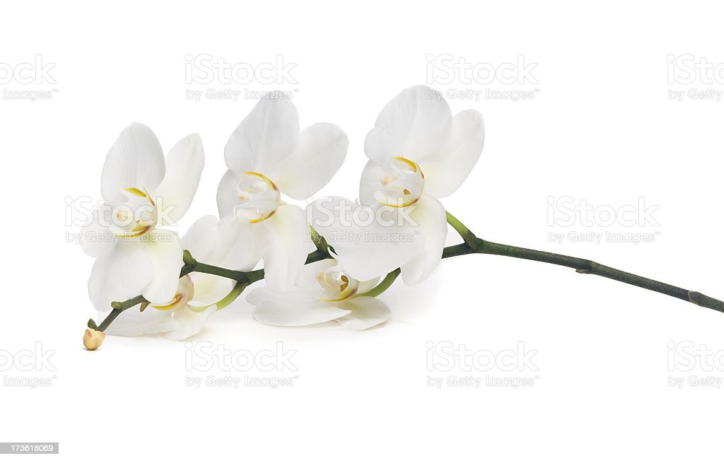 Close-up of white orchid on white background stock photo