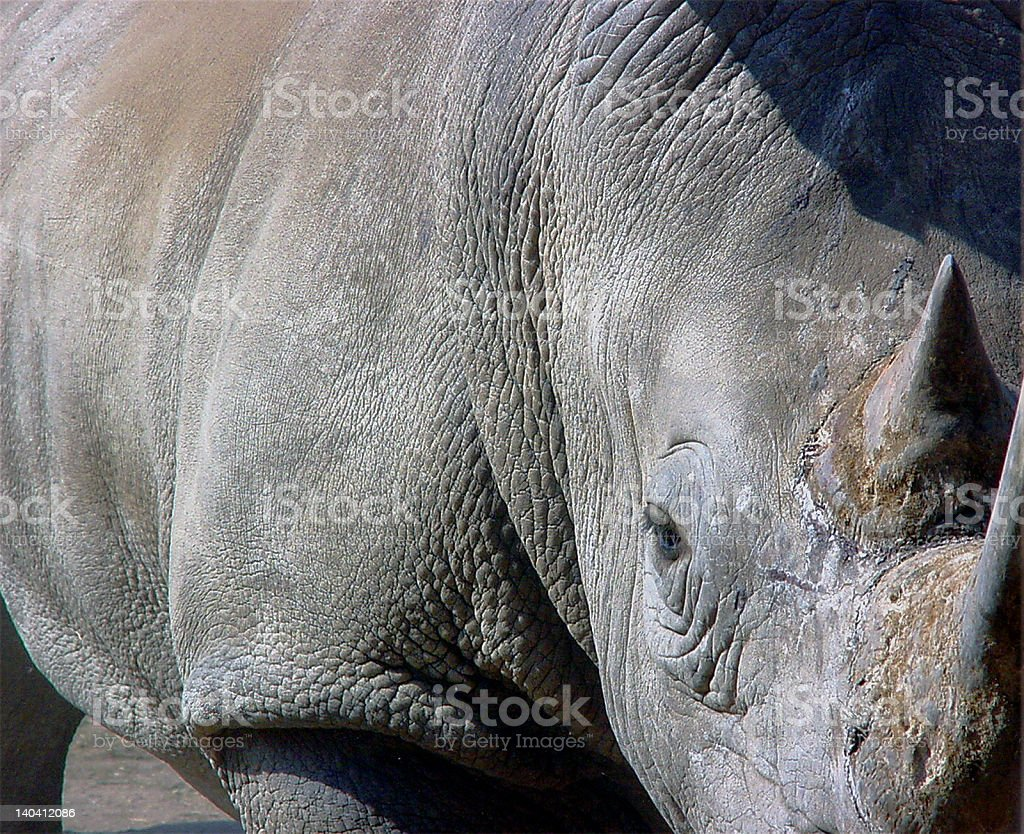 Close-up of White Rhinocerous Kruger National Park South Africa royalty-free stock photo