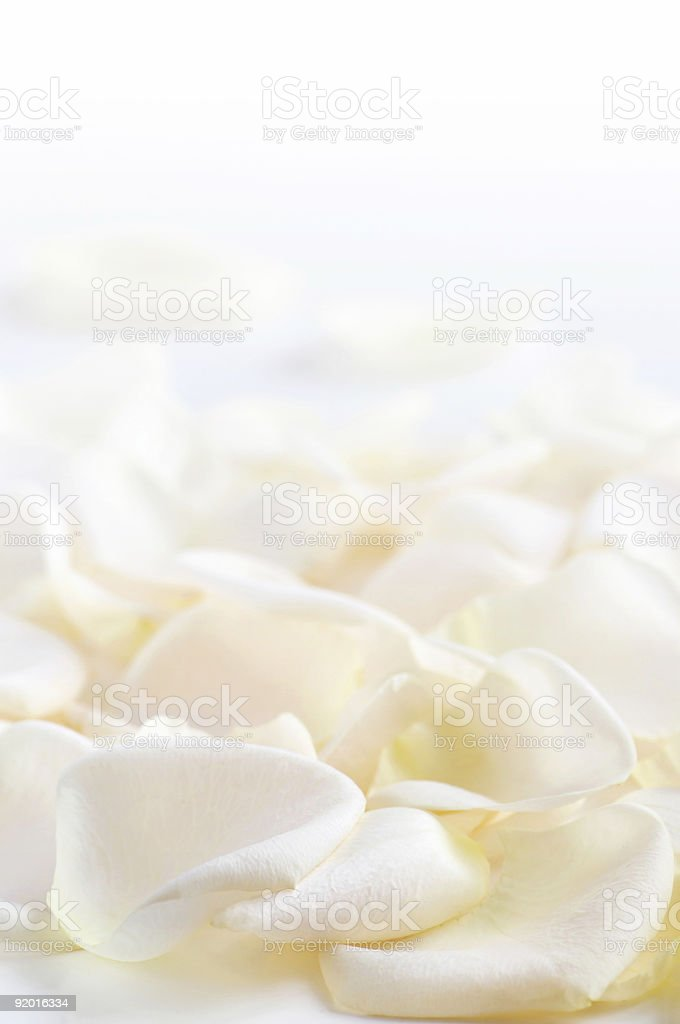 A close-up of white rose petals stock photo
