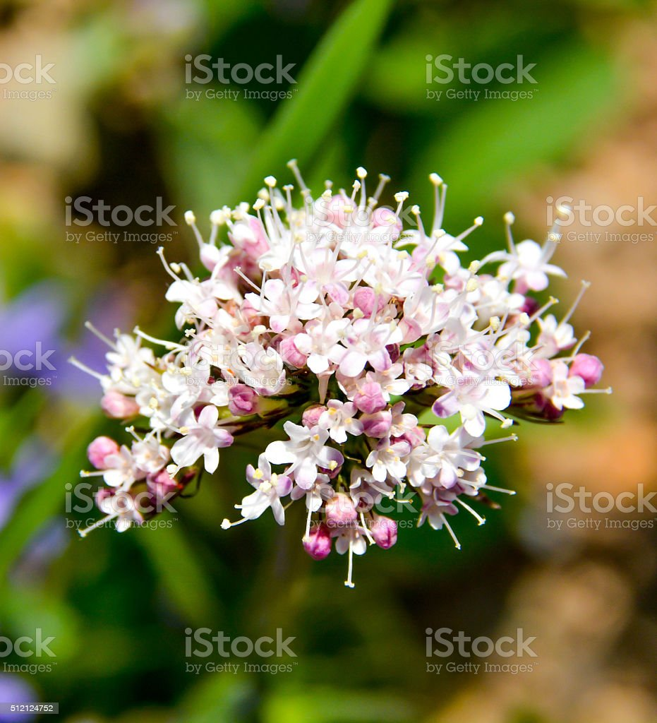 Close-up of white sharpleaf valerian flower with pink puds stock photo