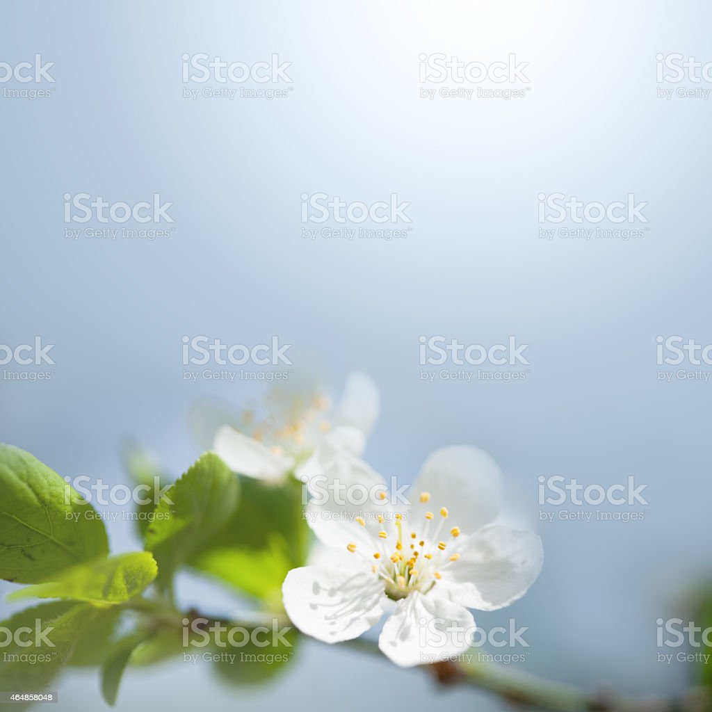 Close-up of white spring blossom flower and leaves stock photo