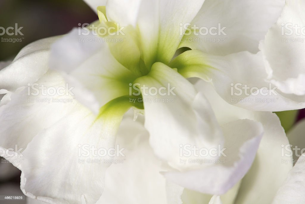 Closeup of white stock flower center. stock photo