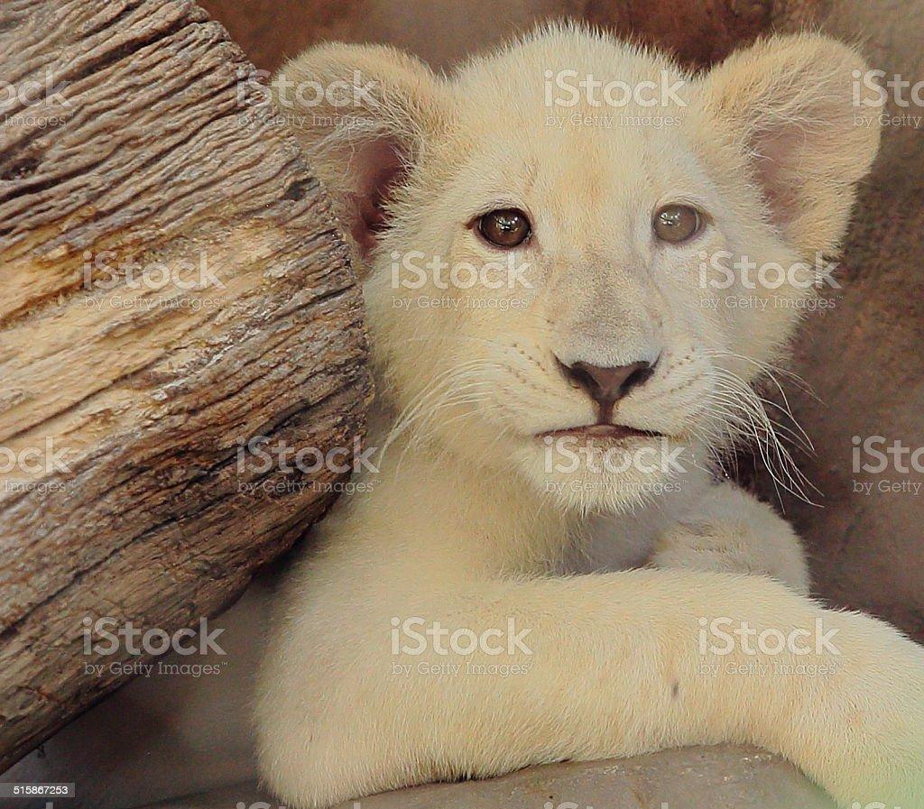 Closeup of White Tiger Baby stock photo