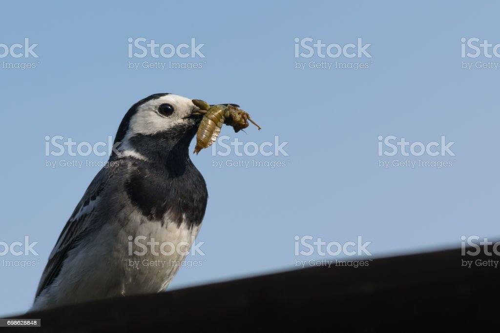 Closeup of White Wagtail with Insect in Beak stock photo