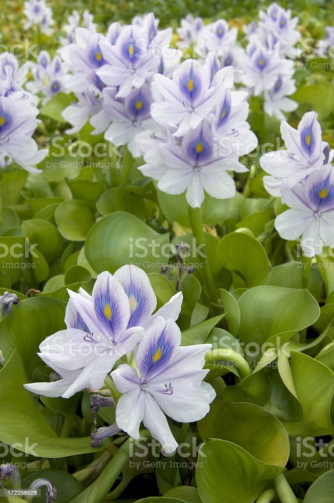 Close-up of White Water Hyacinth royalty-free stock photo