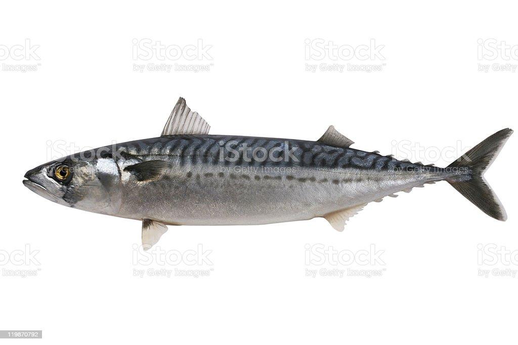 Close-up of whole fresh Mackerel stock photo