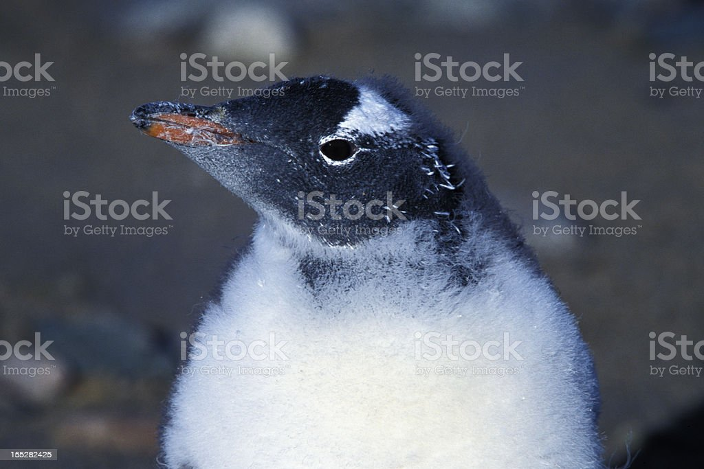 Close-up of Wild Baby Gentoo Penguins royalty-free stock photo