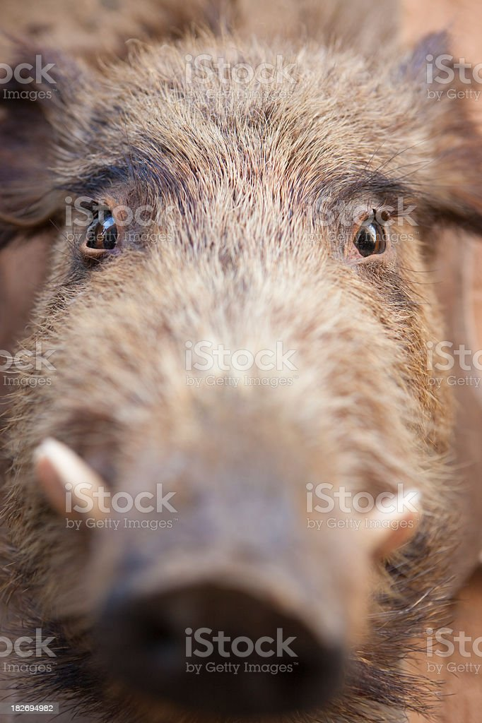 Close-up of wild boar royalty-free stock photo
