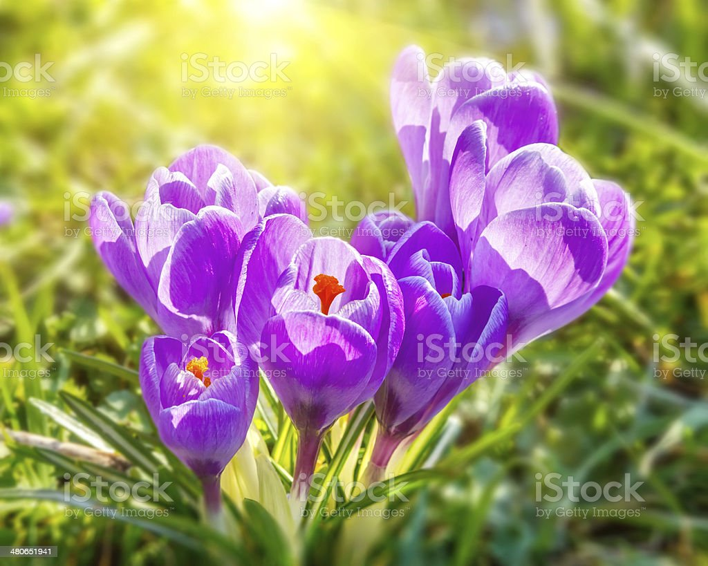 Close-up of wild crocus flowers stock photo