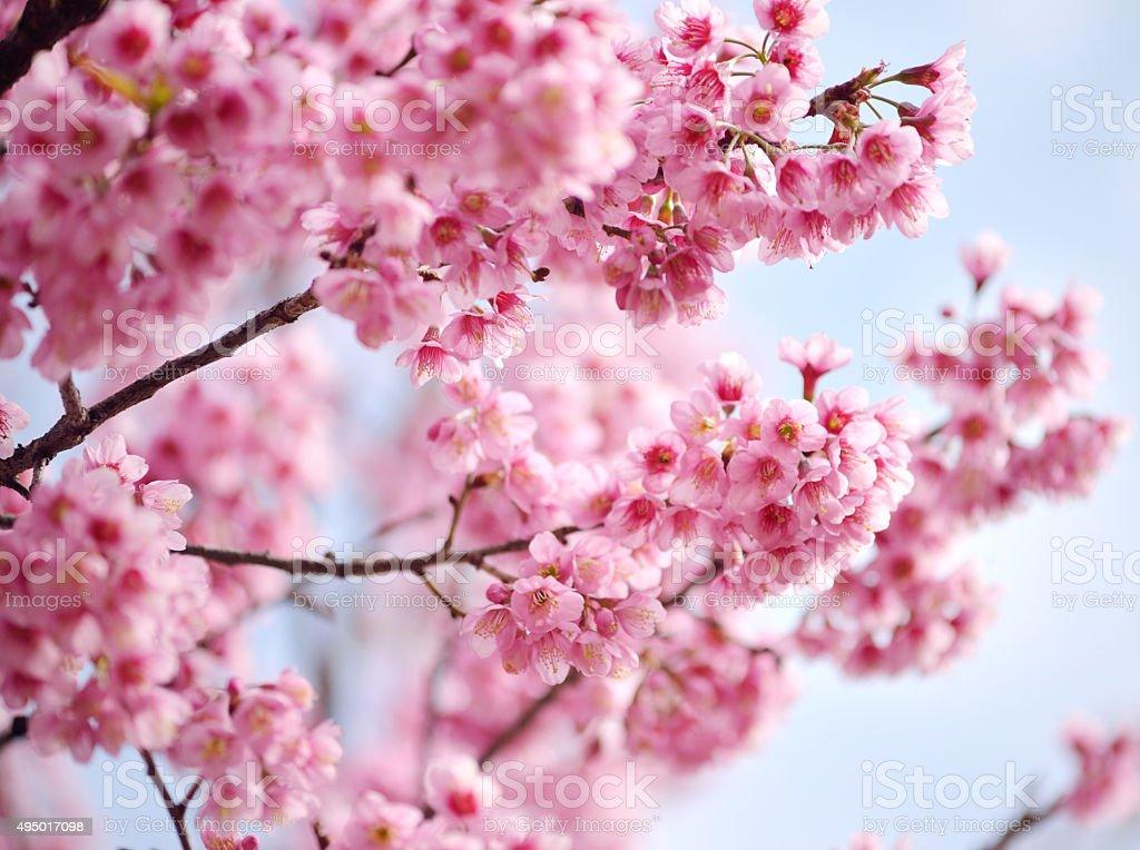 Closeup of Wild Himalayan Cherry (Prunus cerasoides) at Khun Mae stock photo