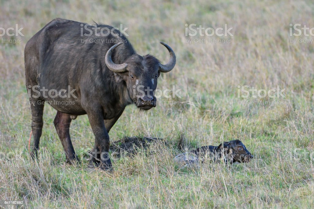Close-up of Wild Mother Cape Buffalo with Just Born Baby stock photo