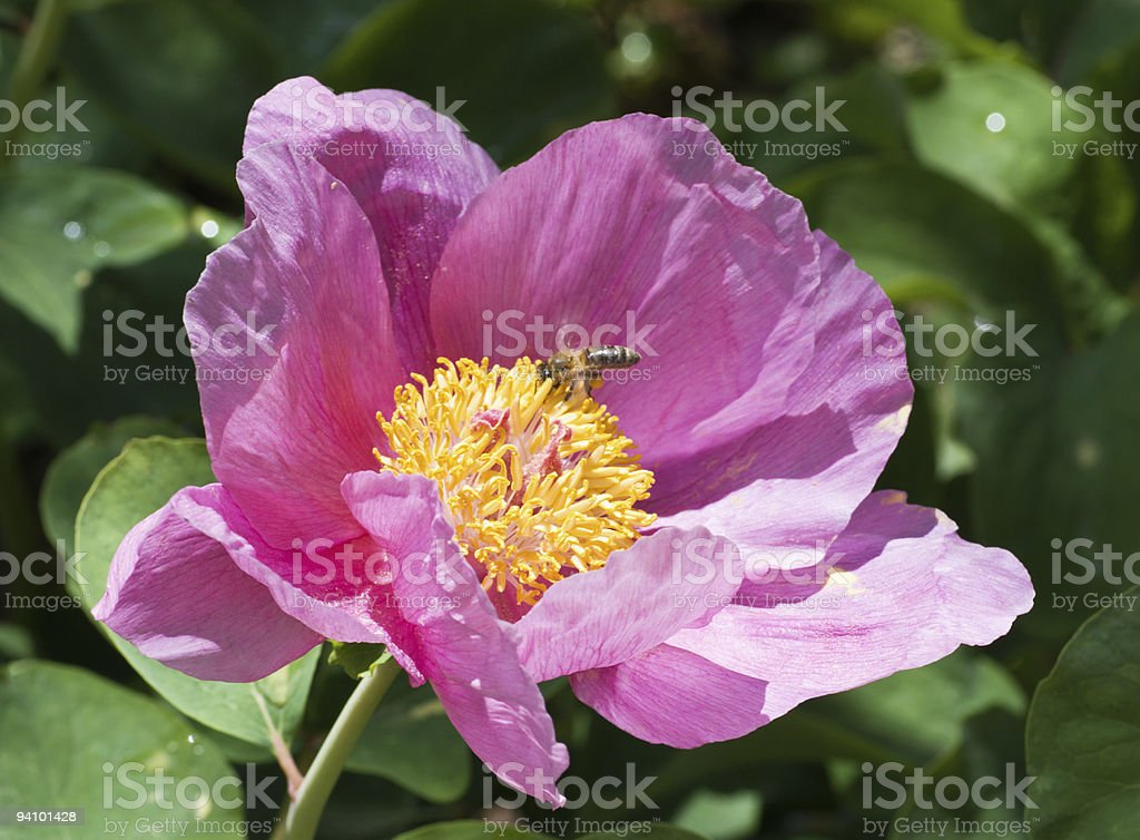 Close-up of wild pink peony and working bee royalty-free stock photo
