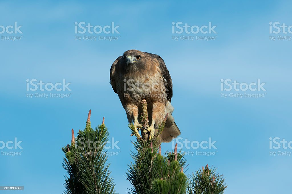 Close-up of Wild Red Tailed Hawk stock photo