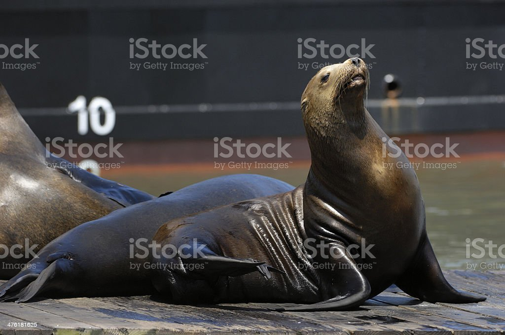 Close-up of Wild Sea Lions on Boat Dock royalty-free stock photo