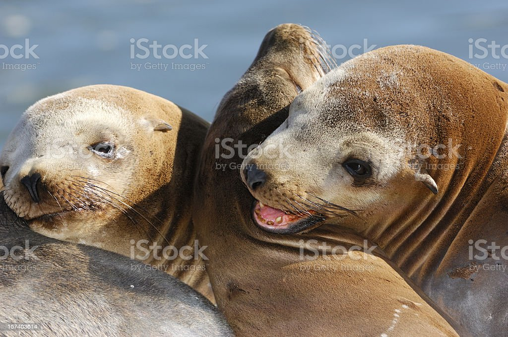 Close-up of Wild Sea Lions stock photo