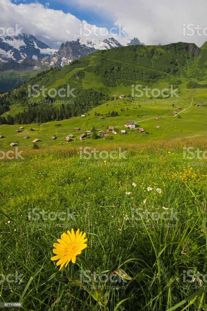 Closeup of wildflower in Swiss Alps royalty-free stock photo