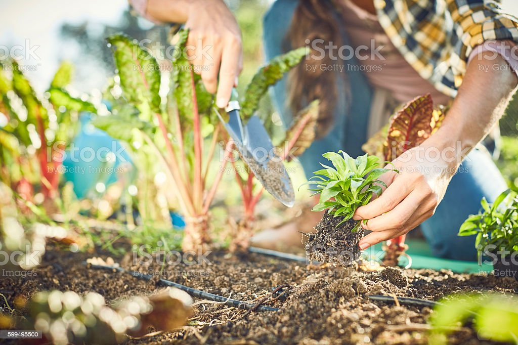 Close-up of woman planting in organic farm stock photo