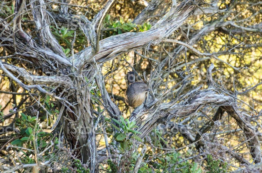 Closeup of Wrentit Chhamaea fasciata bird in Torrey Pines, California stock photo