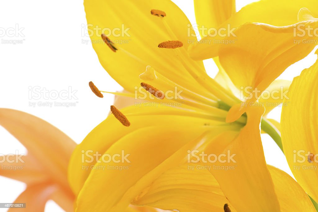 Closeup of yellow Asiatic lily on white. royalty-free stock photo