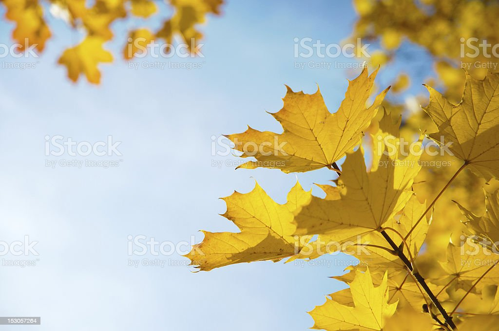 Close-up of yellow autumn leaves against wispy clouded sky stock photo