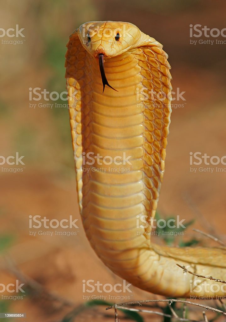 Close-up of yellow cape cobra with tongue sticking out stock photo