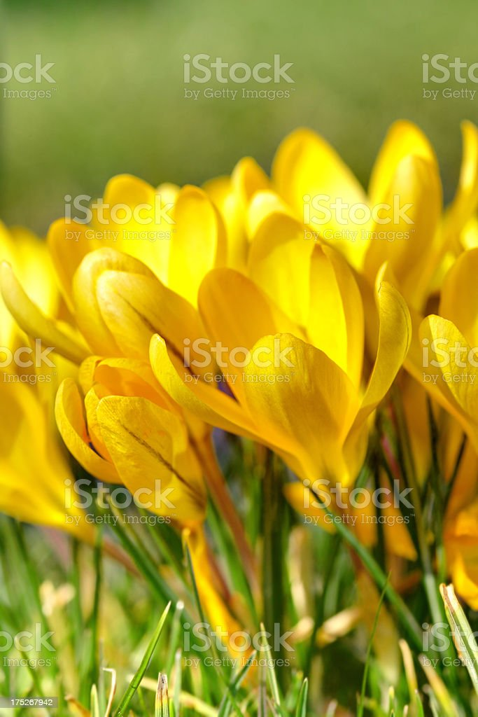 close-up of yellow crocuses royalty-free stock photo