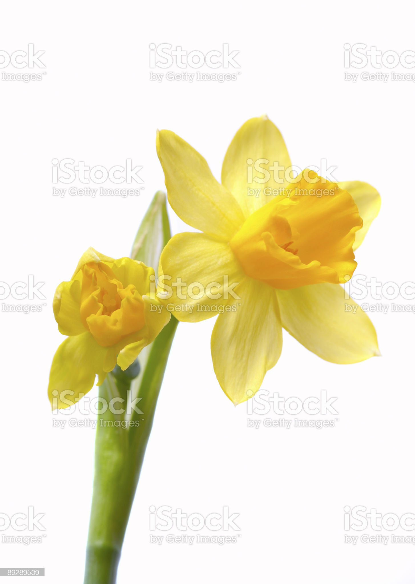 Close-up of yellow daffodils on white background royalty-free stock photo